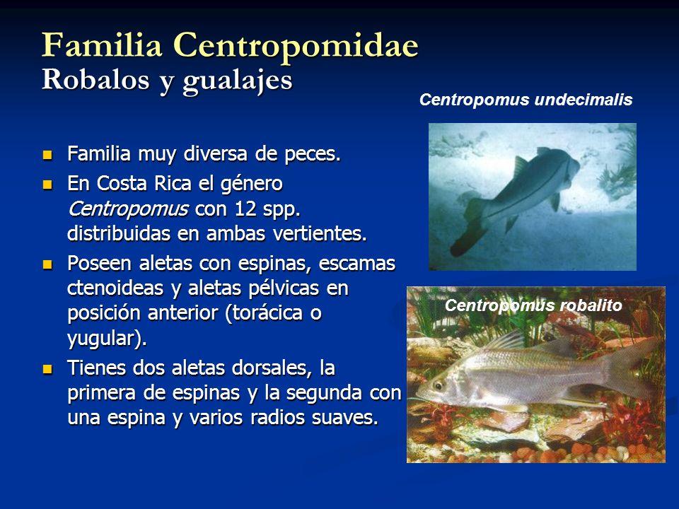 Familia Centropomidae Robalos y gualajes Familia muy diversa de peces. Familia muy diversa de peces. En Costa Rica el género Centropomus con 12 spp. d
