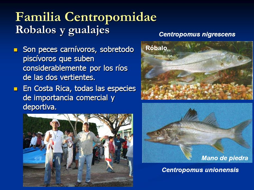 Familia Centropomidae Robalos y gualajes Son peces carnívoros, sobretodo piscívoros que suben considerablemente por los ríos de las dos vertientes. So