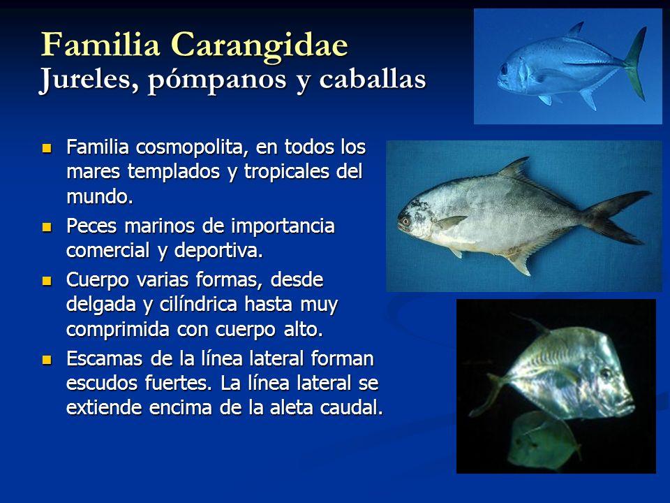 Familia Carangidae Jureles, pómpanos y caballas Familia cosmopolita, en todos los mares templados y tropicales del mundo. Familia cosmopolita, en todo