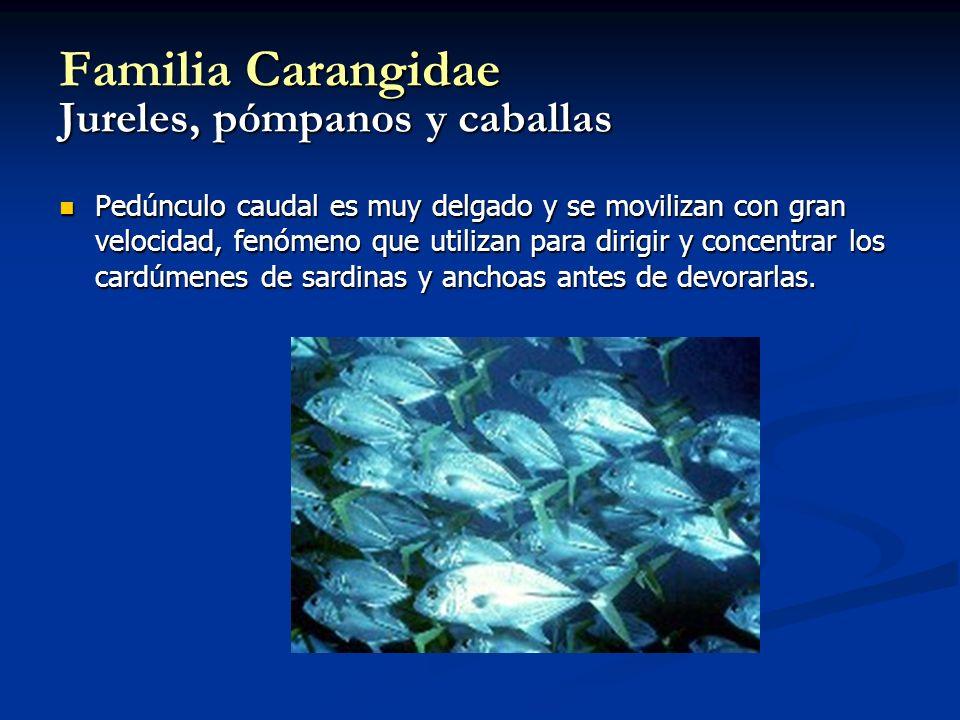 Familia Carangidae Jureles, pómpanos y caballas Pedúnculo caudal es muy delgado y se movilizan con gran velocidad, fenómeno que utilizan para dirigir y concentrar los cardúmenes de sardinas y anchoas antes de devorarlas.