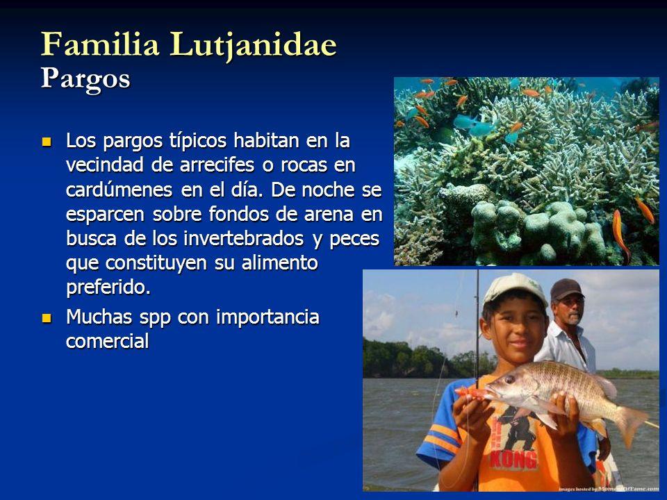 Familia Lutjanidae Pargos Los pargos típicos habitan en la vecindad de arrecifes o rocas en cardúmenes en el día. De noche se esparcen sobre fondos de