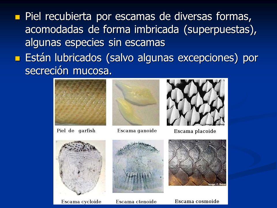 Piel recubierta por escamas de diversas formas, acomodadas de forma imbricada (superpuestas), algunas especies sin escamas Piel recubierta por escamas