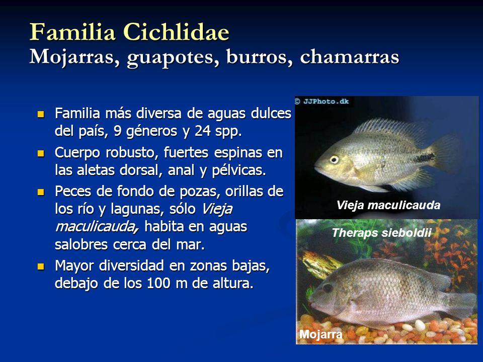 Familia Cichlidae Mojarras, guapotes, burros, chamarras Familia más diversa de aguas dulces del país, 9 géneros y 24 spp. Familia más diversa de aguas