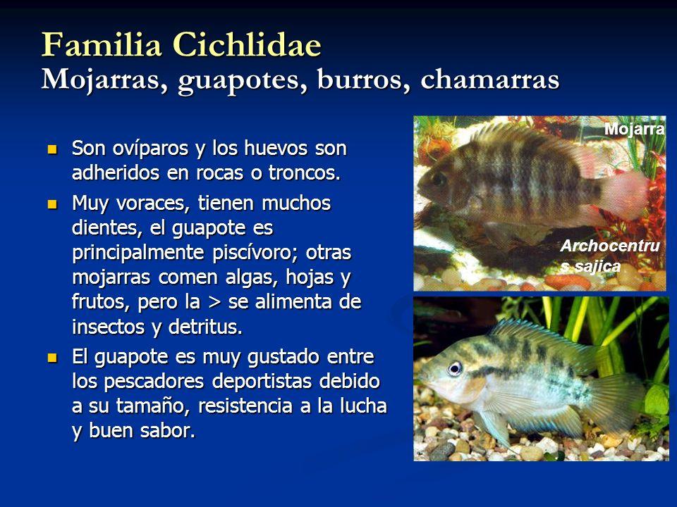 Familia Cichlidae Mojarras, guapotes, burros, chamarras Son ovíparos y los huevos son adheridos en rocas o troncos. Son ovíparos y los huevos son adhe