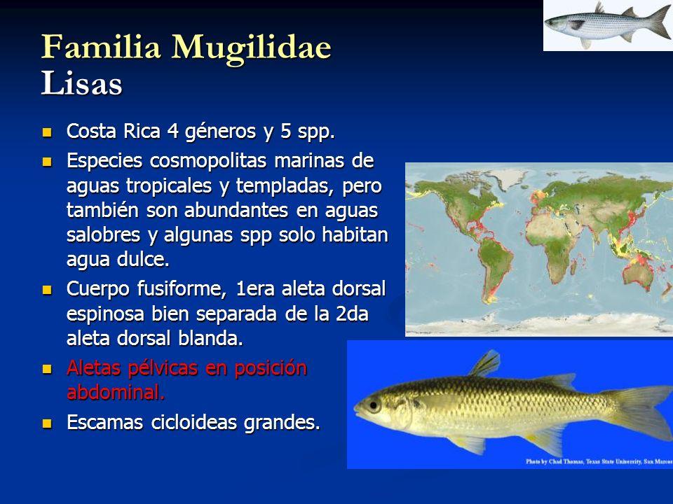 Familia Mugilidae Lisas Costa Rica 4 géneros y 5 spp. Costa Rica 4 géneros y 5 spp. Especies cosmopolitas marinas de aguas tropicales y templadas, per