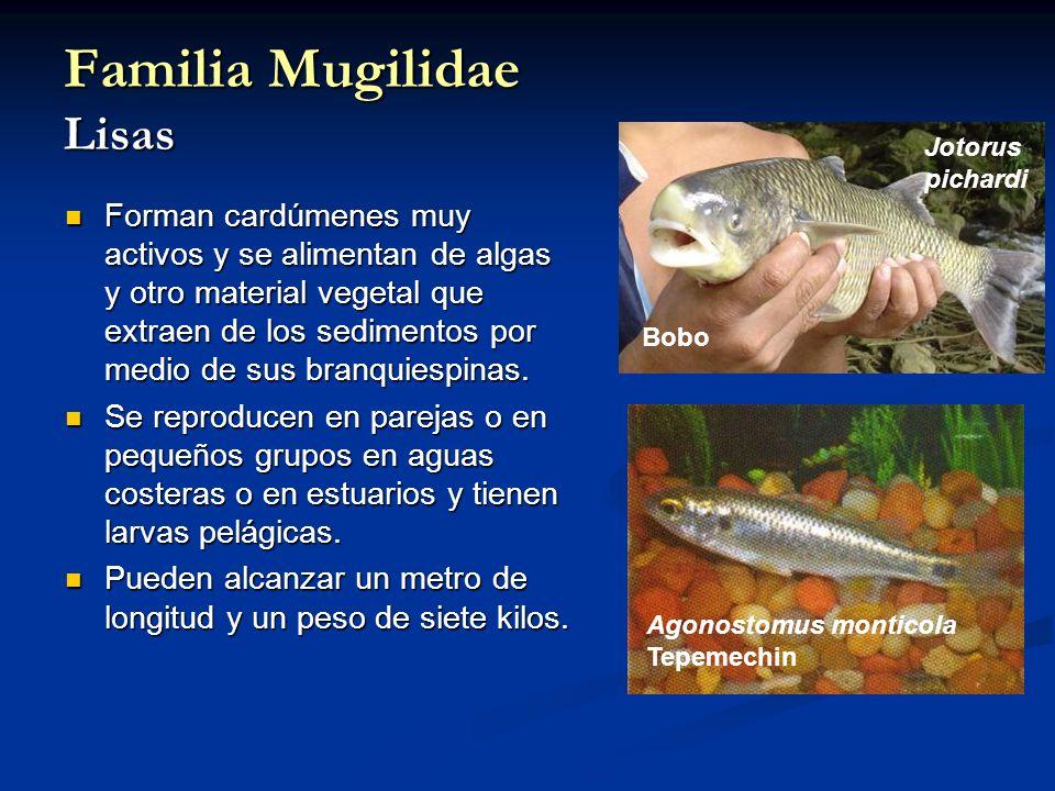 Familia Mugilidae Lisas Forman cardúmenes muy activos y se alimentan de algas y otro material vegetal que extraen de los sedimentos por medio de sus b