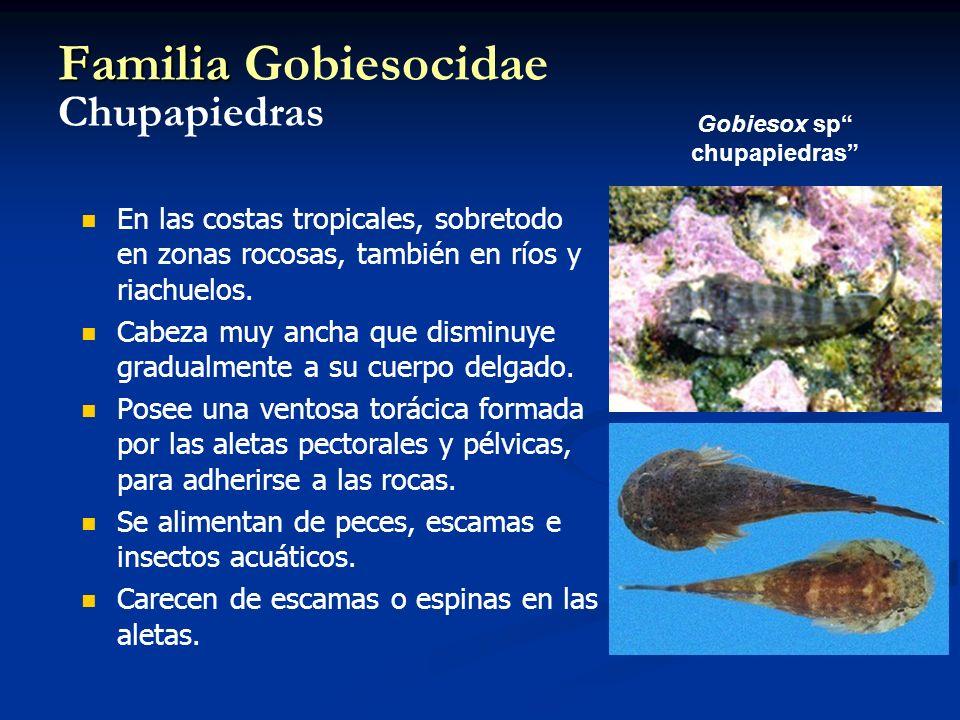 Familia Familia Gobiesocidae Chupapiedras En las costas tropicales, sobretodo en zonas rocosas, también en ríos y riachuelos. Cabeza muy ancha que dis