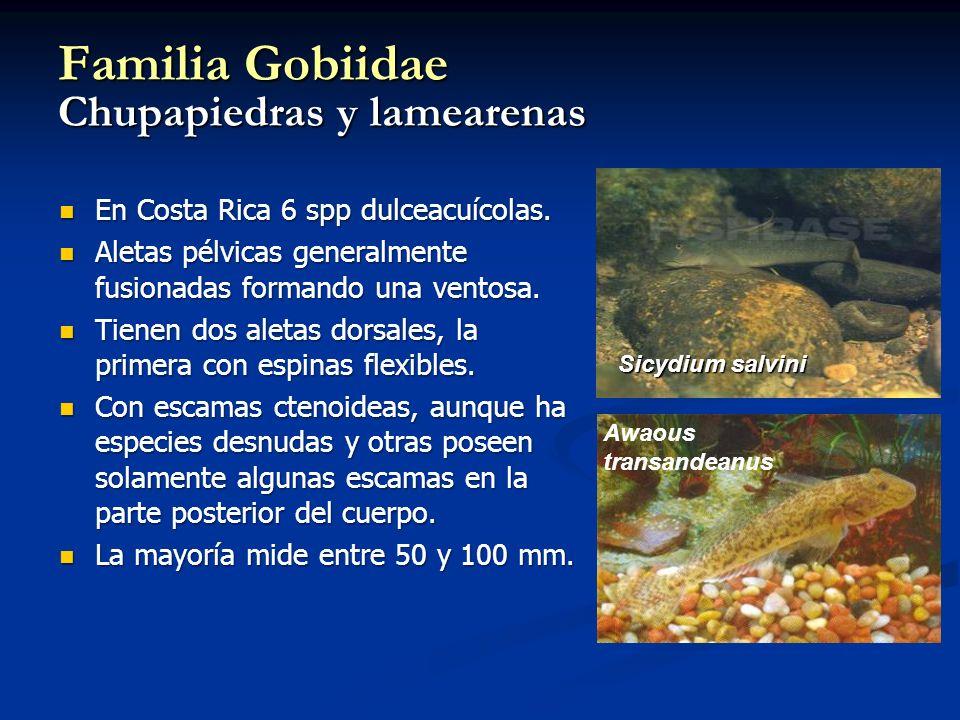 Familia Gobiidae Chupapiedras y lamearenas En Costa Rica 6 spp dulceacuícolas. En Costa Rica 6 spp dulceacuícolas. Aletas pélvicas generalmente fusion