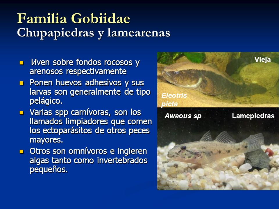 Familia Gobiidae Chupapiedras y lamearenas Viven sobre fondos rocosos y arenosos respectivamente Viven sobre fondos rocosos y arenosos respectivamente Ponen huevos adhesivos y sus larvas son generalmente de tipo pelágico.