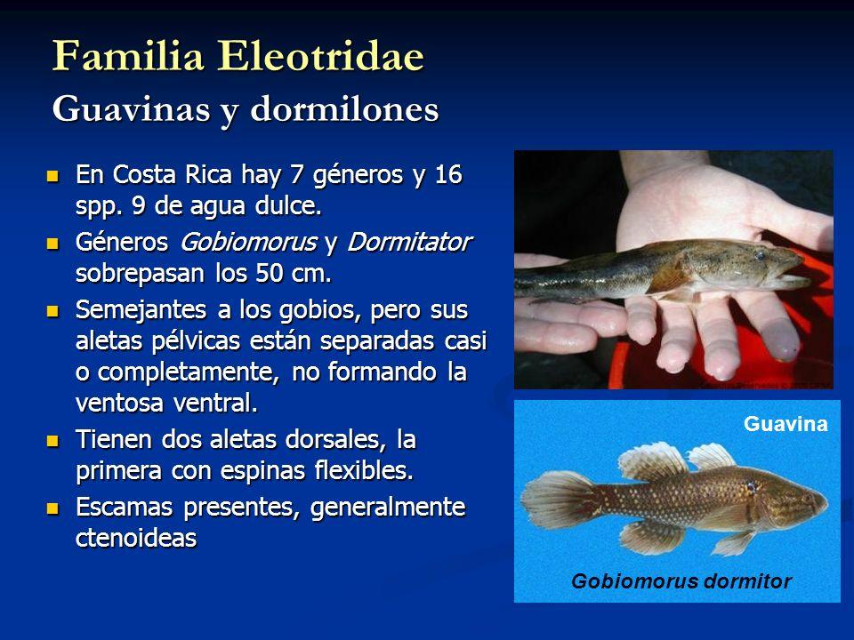 Familia Eleotridae Guavinas y dormilones En Costa Rica hay 7 géneros y 16 spp. 9 de agua dulce. En Costa Rica hay 7 géneros y 16 spp. 9 de agua dulce.