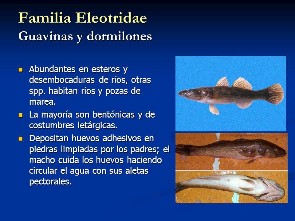 Familia Eleotridae Guavinas y dormilones Abundantes en esteros y desembocaduras de ríos, otras spp. habitan ríos y pozas de marea. Abundantes en ester