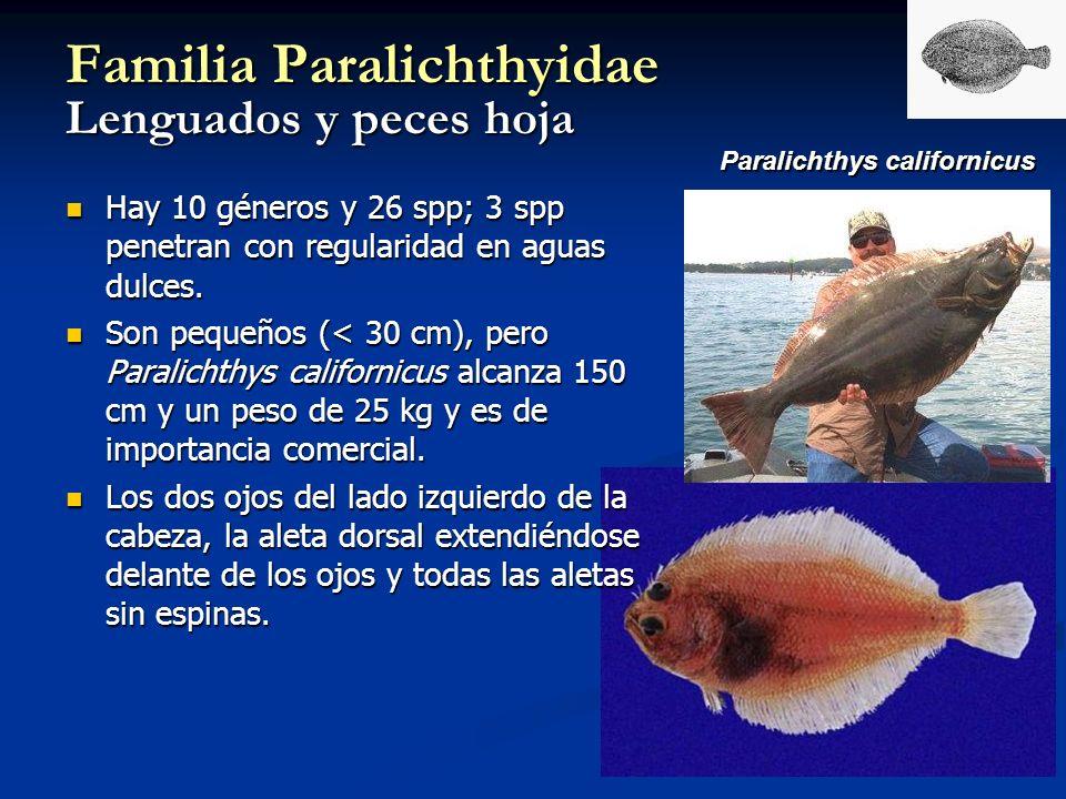 Paralichthys californicus Familia Paralichthyidae Lenguados y peces hoja Hay 10 géneros y 26 spp; 3 spp penetran con regularidad en aguas dulces. Hay