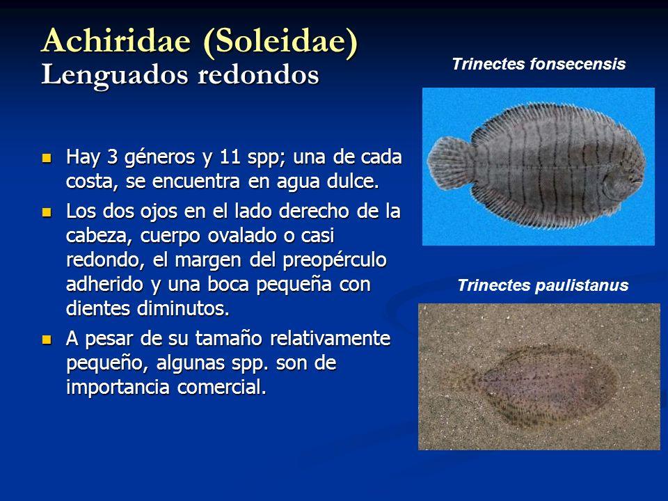 Achiridae (Soleidae) Lenguados redondos Hay 3 géneros y 11 spp; una de cada costa, se encuentra en agua dulce. Hay 3 géneros y 11 spp; una de cada cos