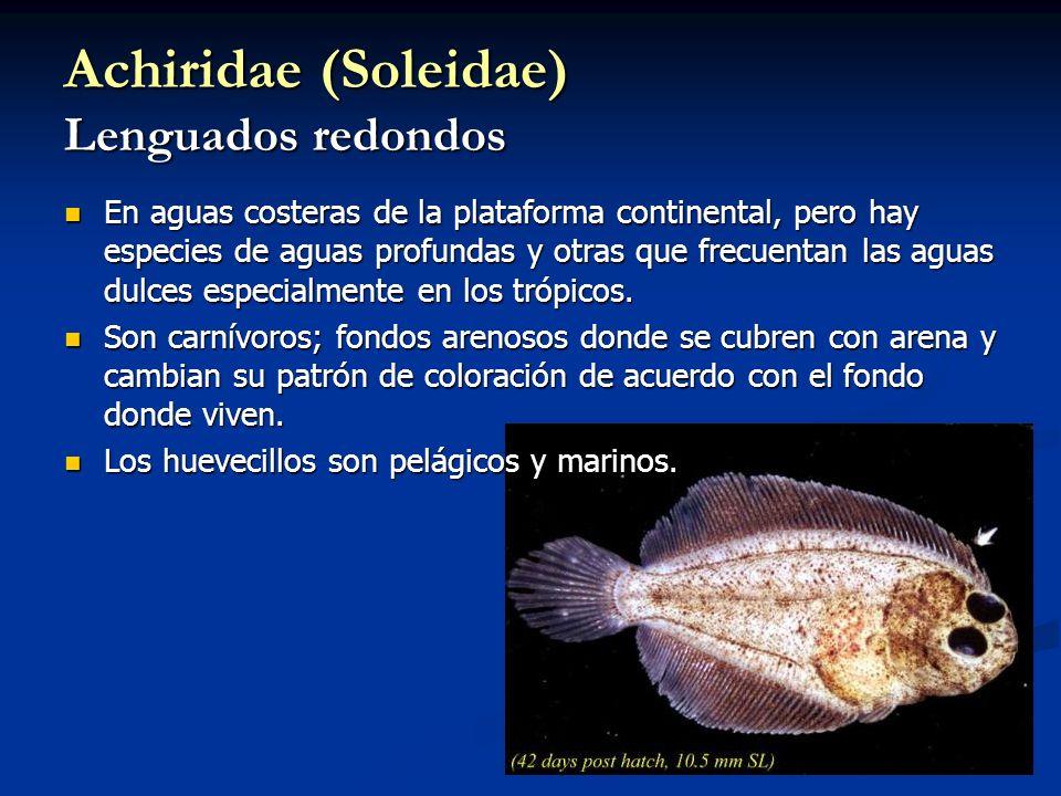 Achiridae (Soleidae) Lenguados redondos En aguas costeras de la plataforma continental, pero hay especies de aguas profundas y otras que frecuentan las aguas dulces especialmente en los trópicos.