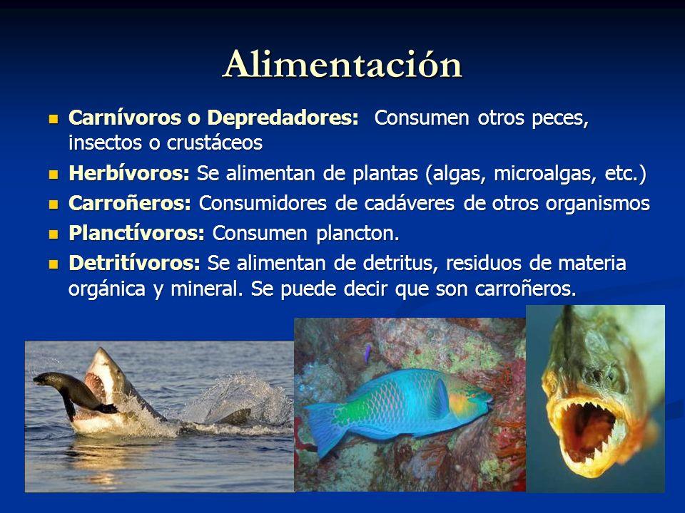 Alimentación Carnívoros o Depredadores: Consumen otros peces, insectos o crustáceos Carnívoros o Depredadores: Consumen otros peces, insectos o crustáceos Herbívoros: Se alimentan de plantas (algas, microalgas, etc.) Herbívoros: Se alimentan de plantas (algas, microalgas, etc.) Carroñeros: Consumidores de cadáveres de otros organismos Carroñeros: Consumidores de cadáveres de otros organismos Planctívoros: Consumen plancton.