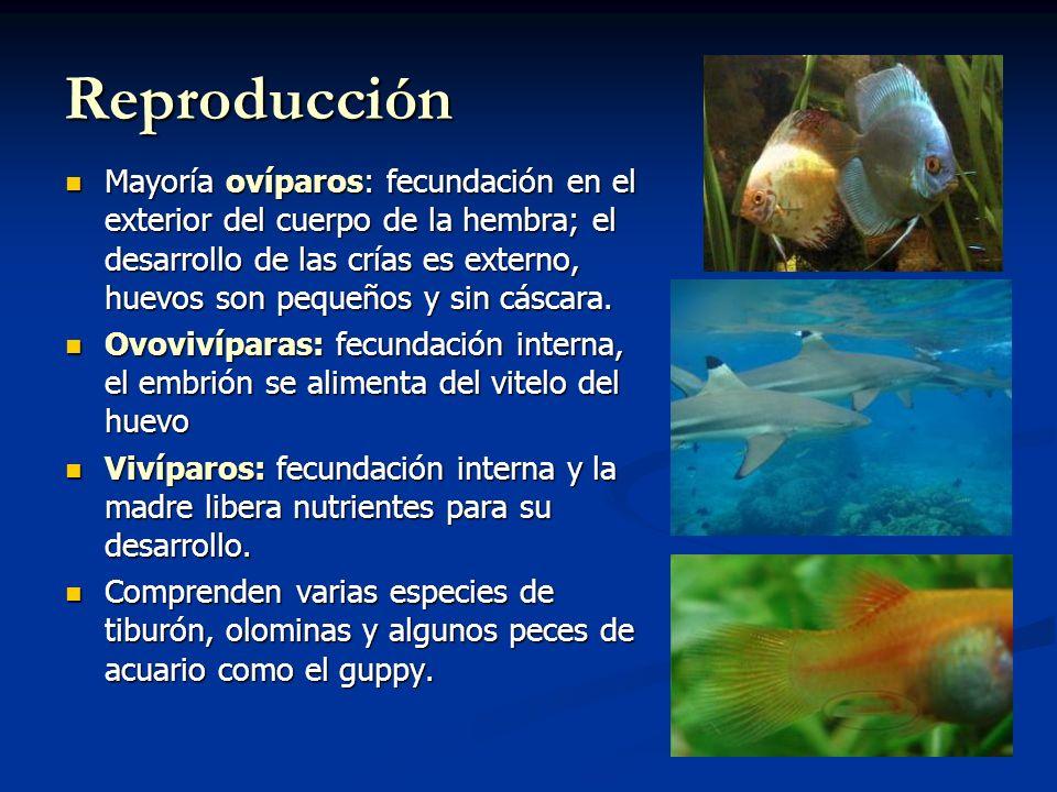 Reproducción Mayoría ovíparos: fecundación en el exterior del cuerpo de la hembra; el desarrollo de las crías es externo, huevos son pequeños y sin cáscara.