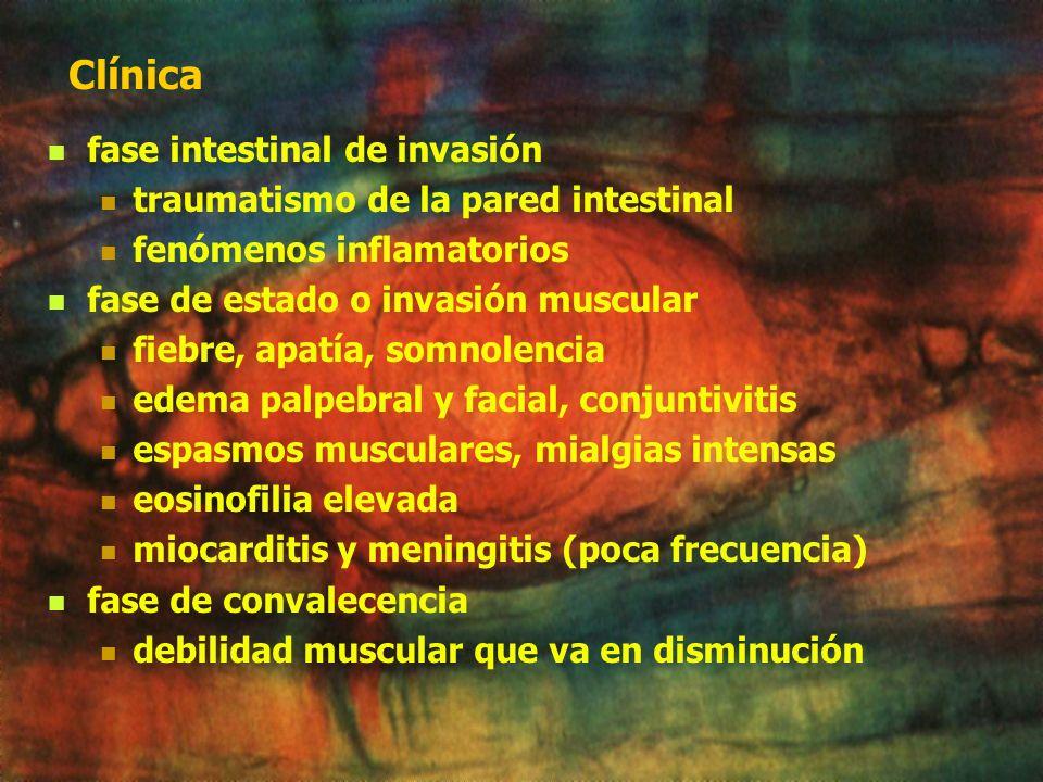 Patogenia fase intestinal: traumatismo de la pared intestinal fenómenos inflamatorios Fase muscular: infiltrados celulares, hiperplasia histiocitaria