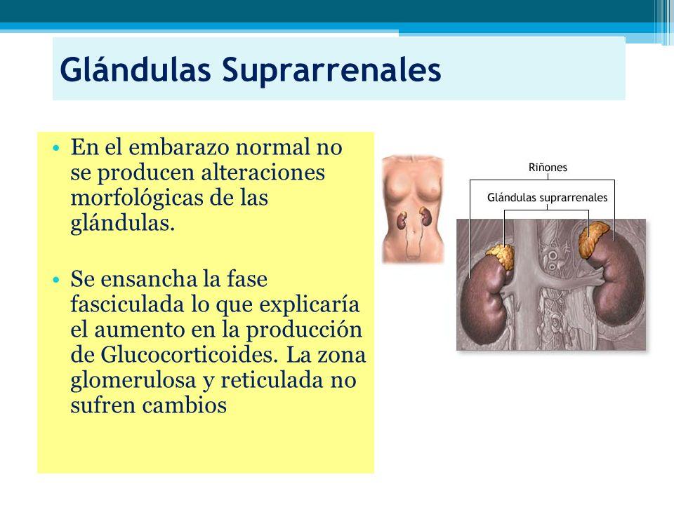 Glándulas Suprarrenales En el embarazo normal no se producen alteraciones morfológicas de las glándulas. Se ensancha la fase fasciculada lo que explic