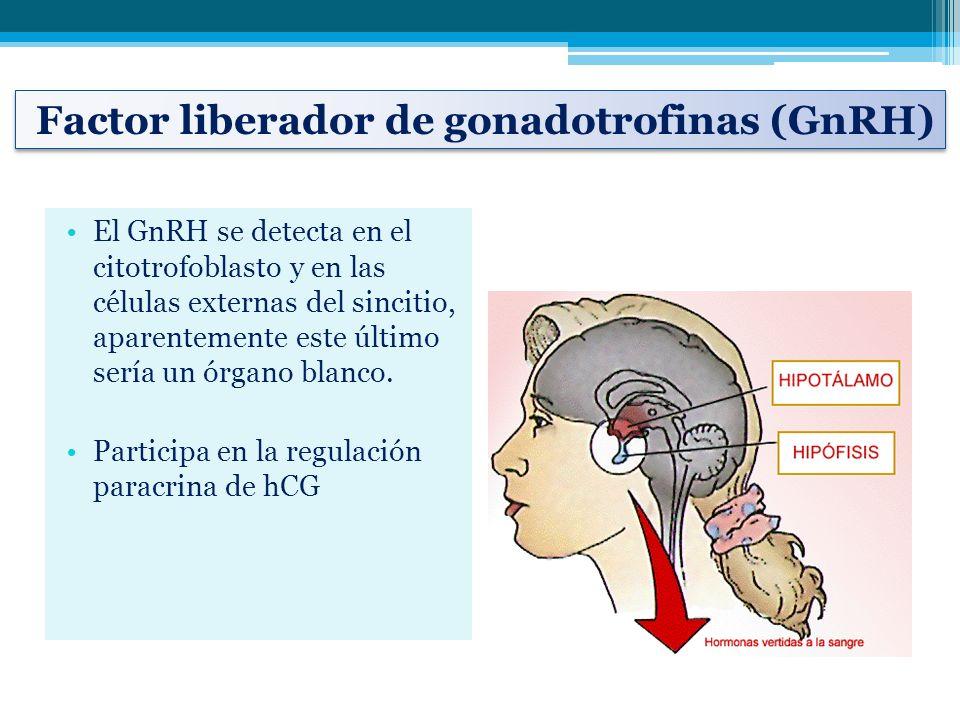 El GnRH se detecta en el citotrofoblasto y en las células externas del sincitio, aparentemente este último sería un órgano blanco. Participa en la reg