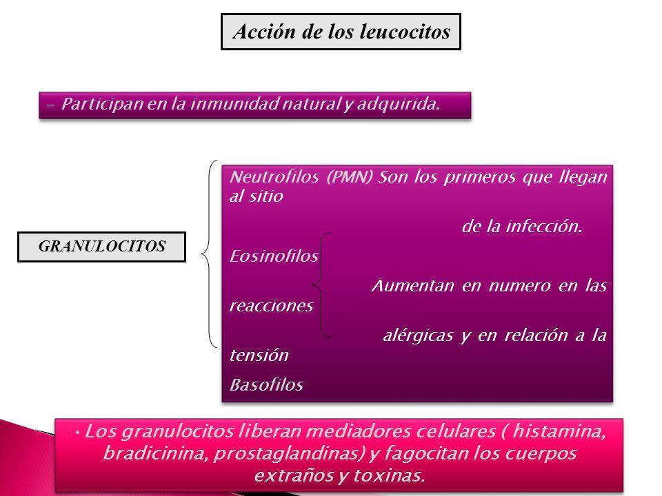 Acción de los leucocitos - Participan en la inmunidad natural y adquirida. Los granulocitos liberan mediadores celulares ( histamina, bradicinina, pro