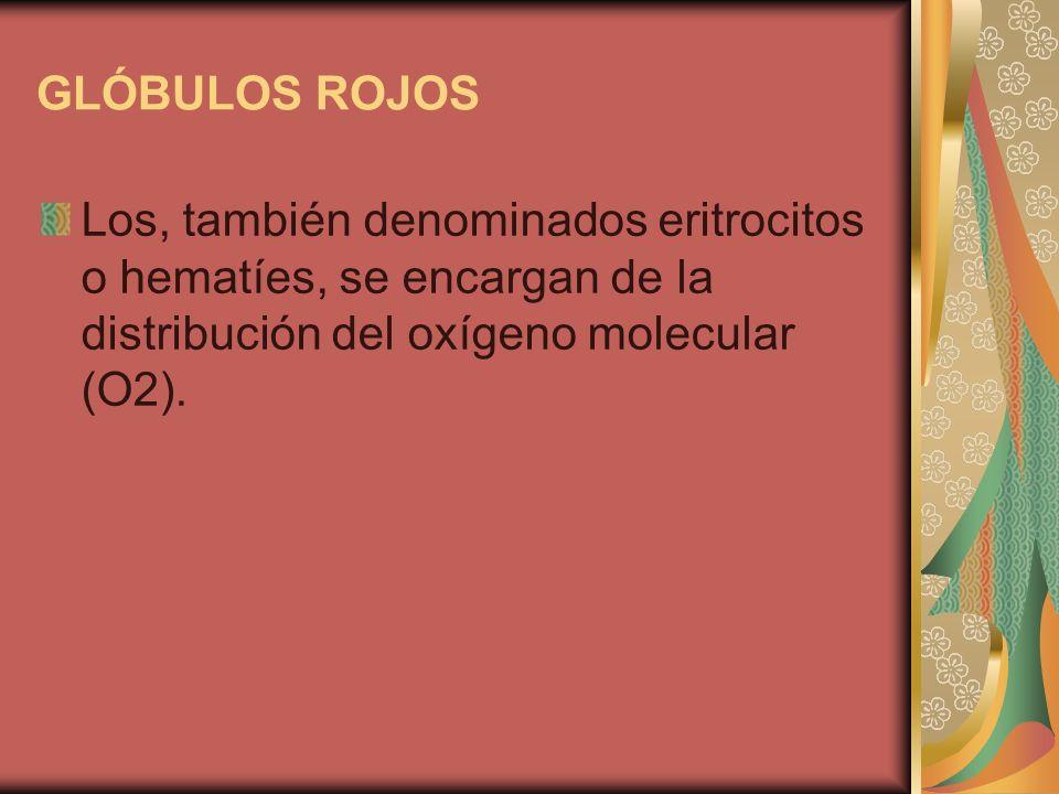 GLÓBULOS ROJOS Los, también denominados eritrocitos o hematíes, se encargan de la distribución del oxígeno molecular (O2).