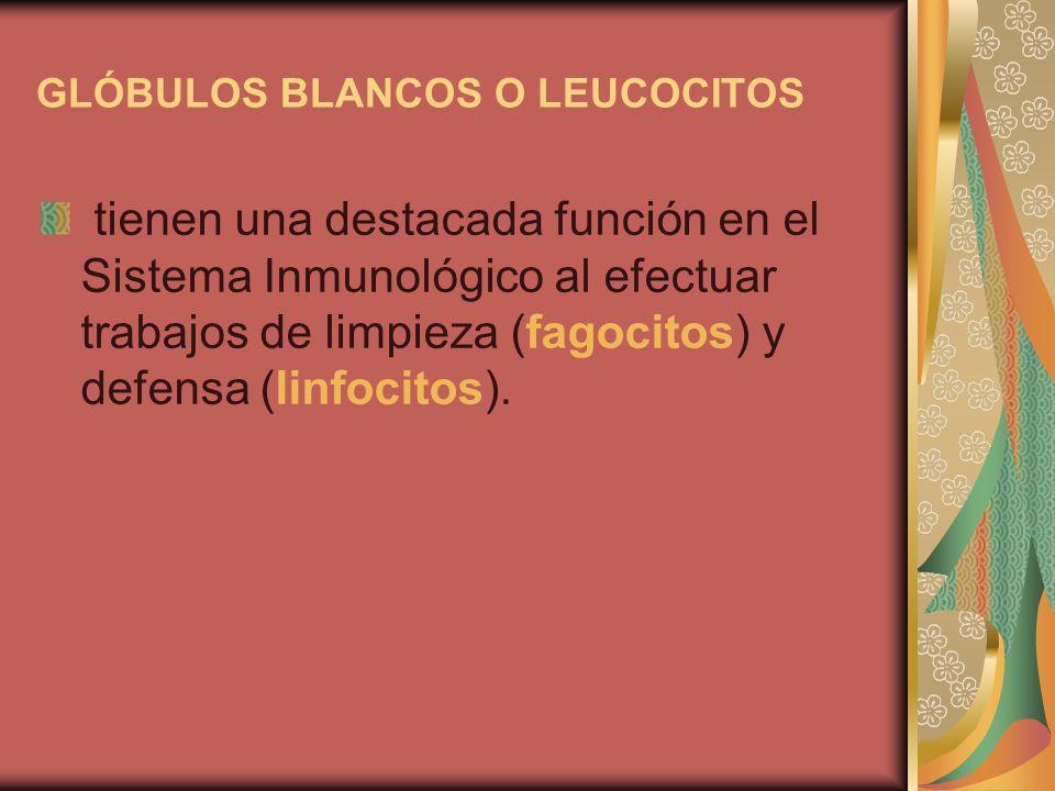 GLÓBULOS BLANCOS O LEUCOCITOS tienen una destacada función en el Sistema Inmunológico al efectuar trabajos de limpieza (fagocitos) y defensa (linfocit