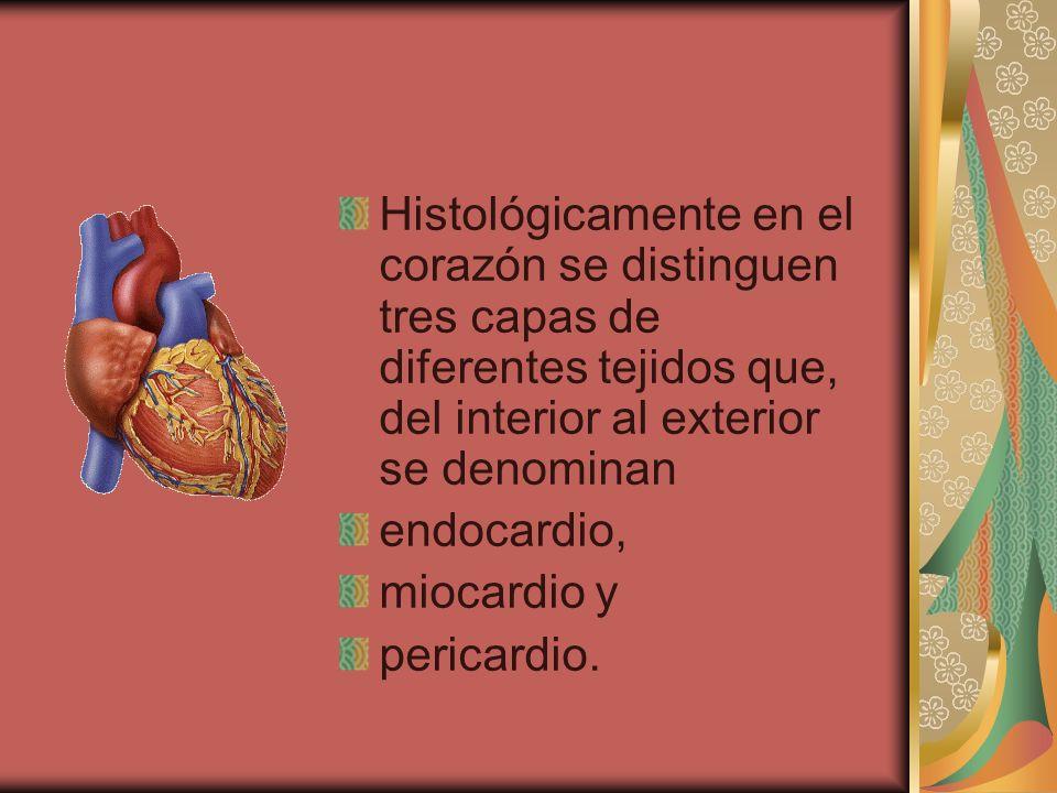Histológicamente en el corazón se distinguen tres capas de diferentes tejidos que, del interior al exterior se denominan endocardio, miocardio y peric