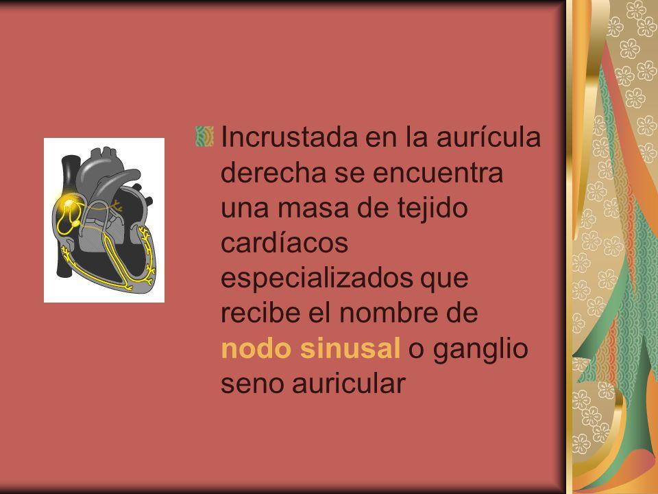 Incrustada en la aurícula derecha se encuentra una masa de tejido cardíacos especializados que recibe el nombre de nodo sinusal o ganglio seno auricul