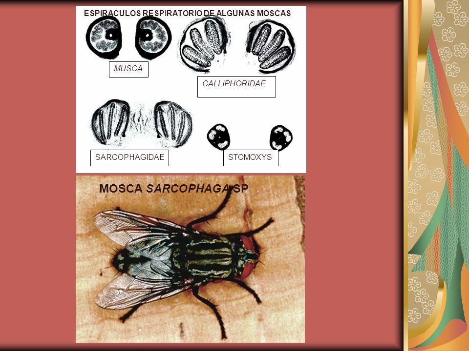 MUSCA CALLIPHORIDAE SARCOPHAGIDAESTOMOXYS ESPIRACULOS RESPIRATORIO DE ALGUNAS MOSCAS MOSCA SARCOPHAGA SP