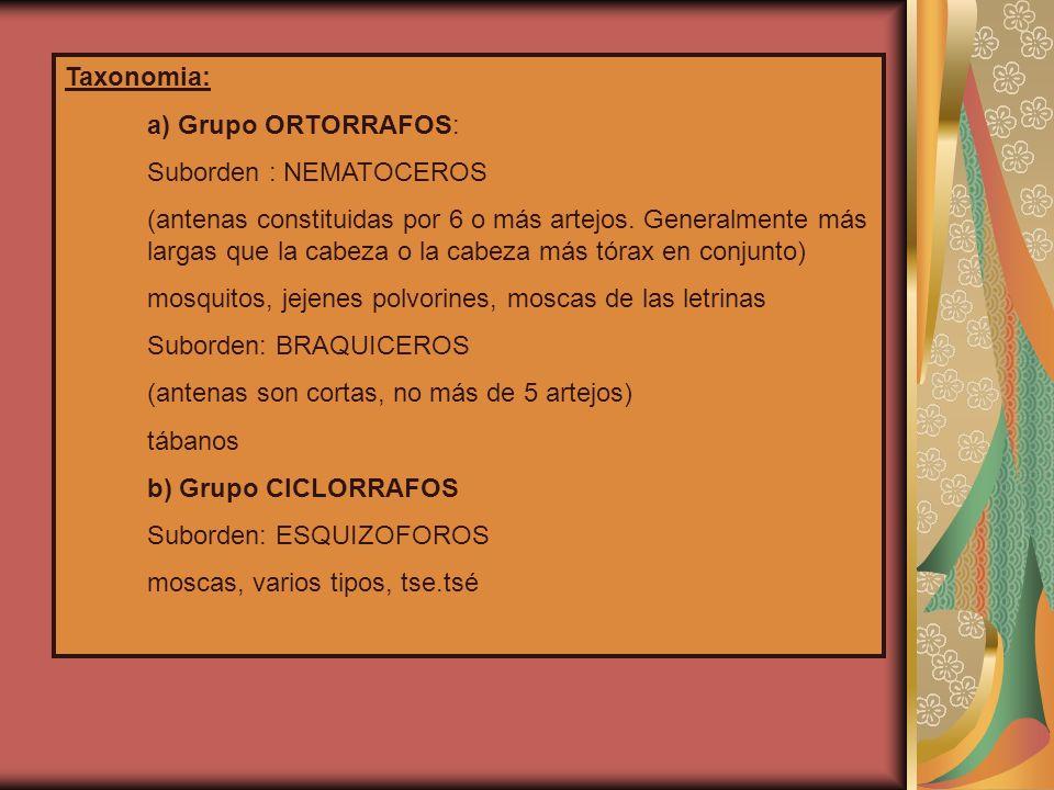 Taxonomia: a) Grupo ORTORRAFOS: Suborden : NEMATOCEROS (antenas constituidas por 6 o más artejos.
