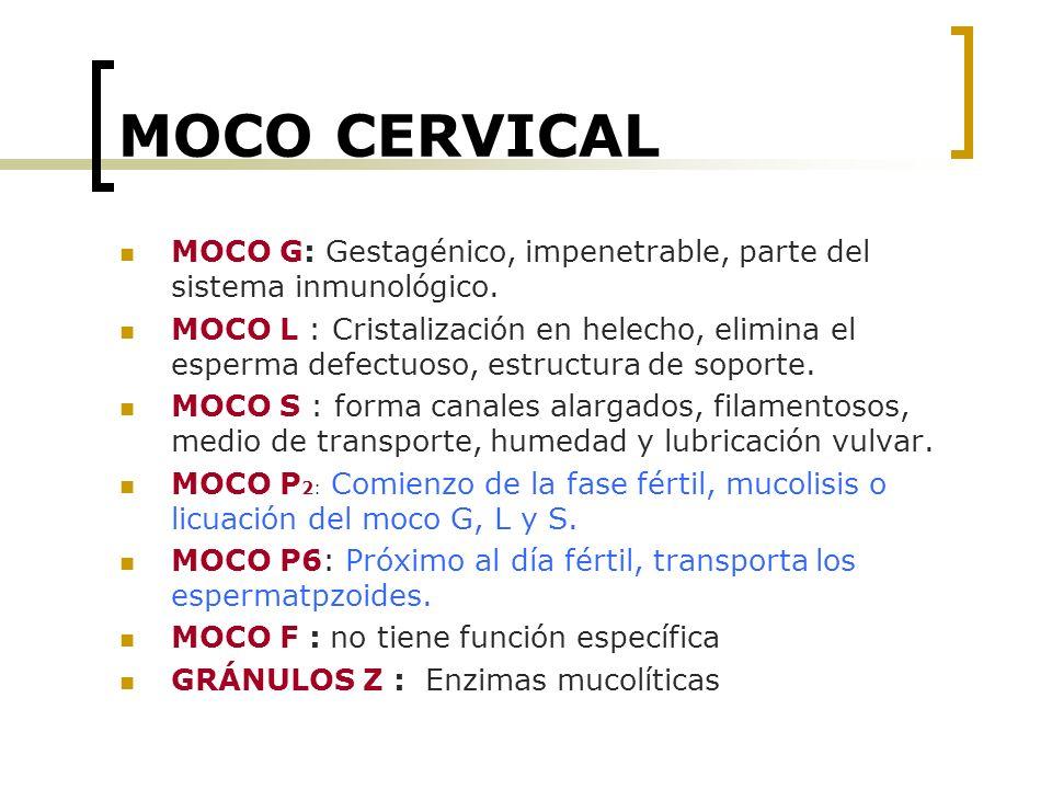 MOCO CERVICAL MOCO G: Gestagénico, impenetrable, parte del sistema inmunológico. MOCO L : Cristalización en helecho, elimina el esperma defectuoso, es