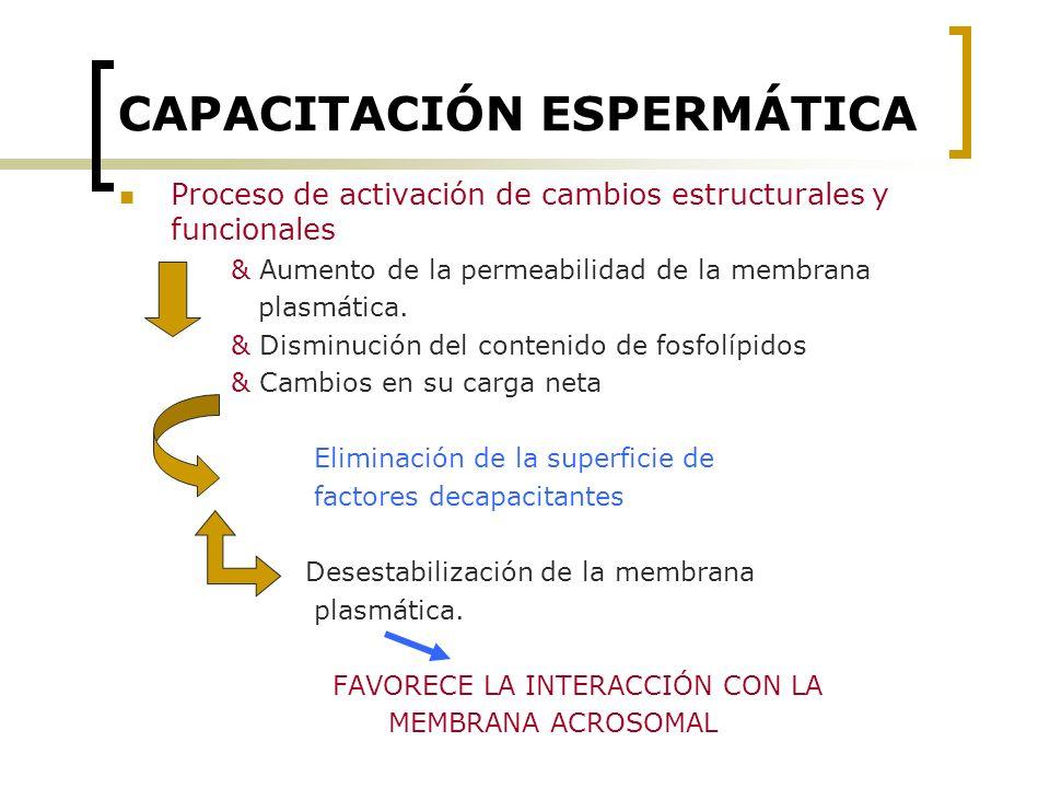 CAPACITACIÓN ESPERMÁTICA Proceso de activación de cambios estructurales y funcionales & Aumento de la permeabilidad de la membrana plasmática. & Dismi
