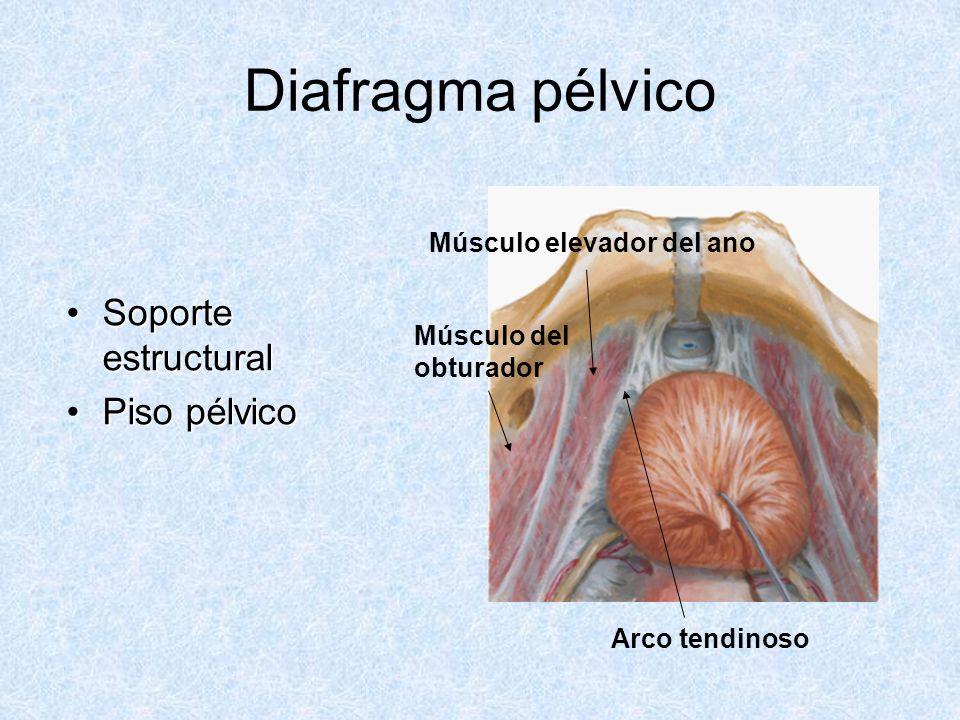 Diafragma pélvico Soporte estructuralSoporte estructural Piso pélvicoPiso pélvico Músculo elevador del ano Músculo del obturador Arco tendinoso