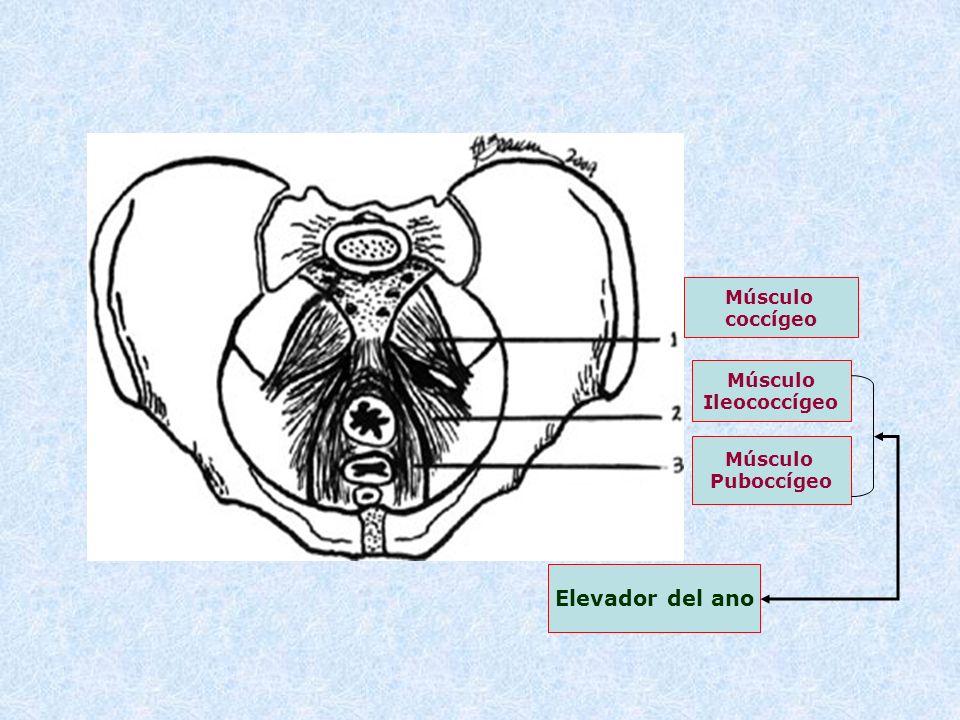 Músculo coccígeo Músculo Ileococcígeo Músculo Puboccígeo Elevador del ano