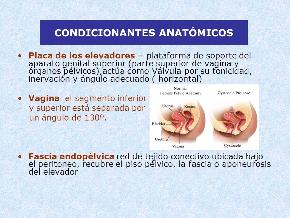 CONDICIONANTES ANATÓMICOS Placa de los elevadores = plataforma de soporte del aparato genital superior (parte superior de vagina y órganos pélvicos),a