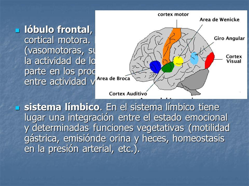 lóbulo frontal, situado por delante de la zona cortical motora. Regula las funciones vegetativas (vasomotoras, sudorales, etc.) que acompañan a la act