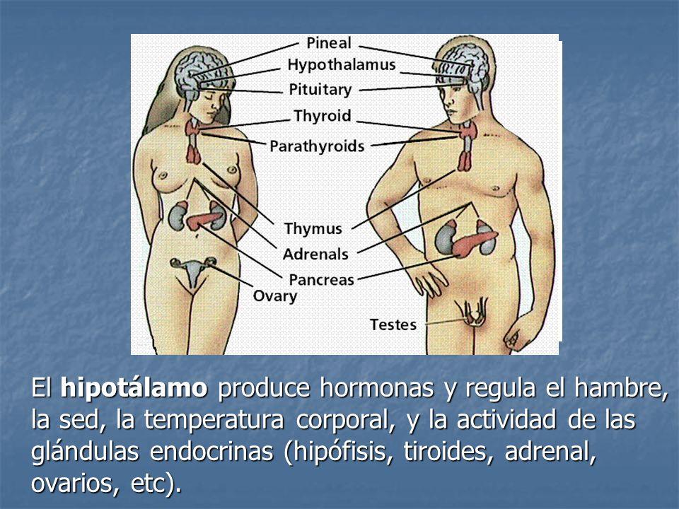 El hipotálamo produce hormonas y regula el hambre, la sed, la temperatura corporal, y la actividad de las glándulas endocrinas (hipófisis, tiroides, a