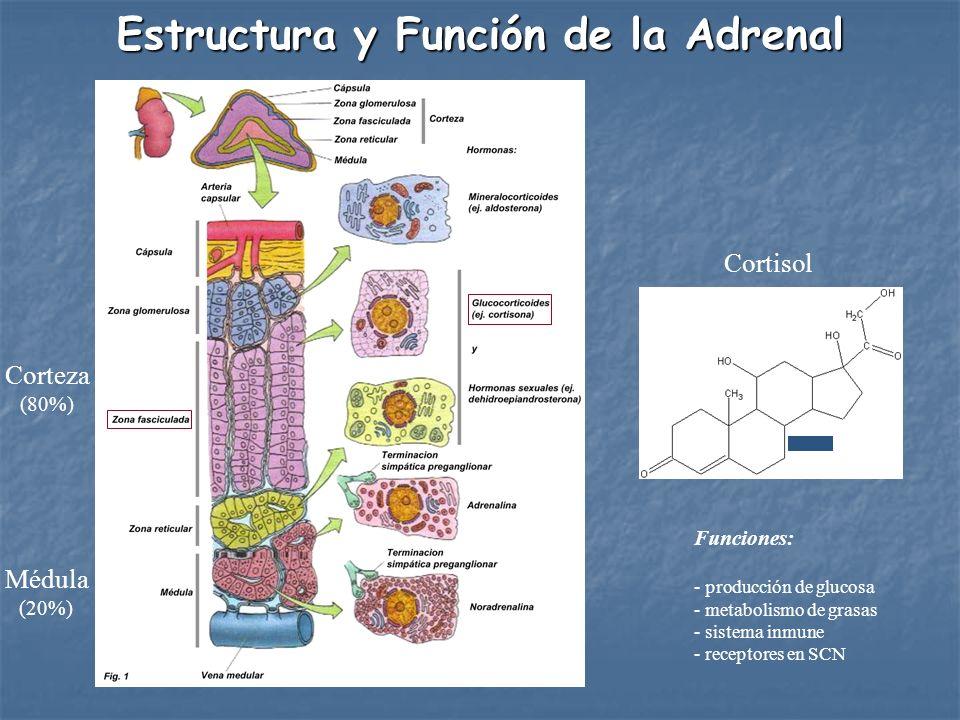Corteza (80%) Médula (20%) Estructura y Función de la Adrenal Cortisol Funciones: - producción de glucosa - metabolismo de grasas - sistema inmune - r