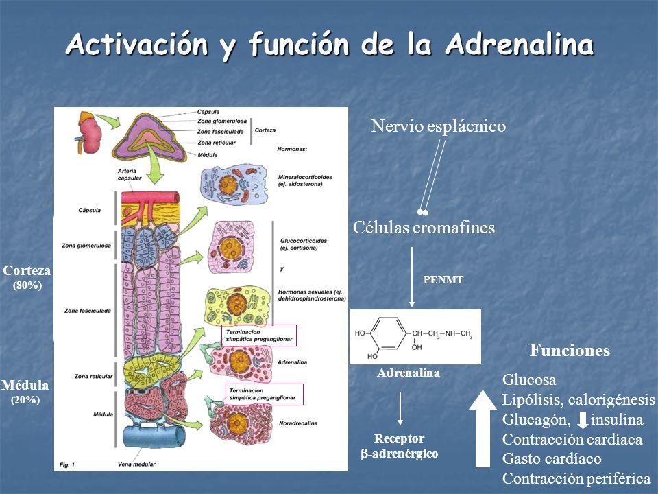 Células cromafines Nervio esplácnico Adrenalina Receptor -adrenérgico Activación y función de la Adrenalina Funciones Glucosa Lipólisis, calorigénesis