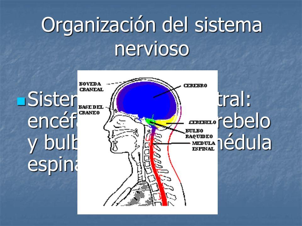 Organización del sistema nervioso Sistema nervioso central: encéfalo (cerebro, cerebelo y bulbo raquídeo) y médula espinal Sistema nervioso central: e