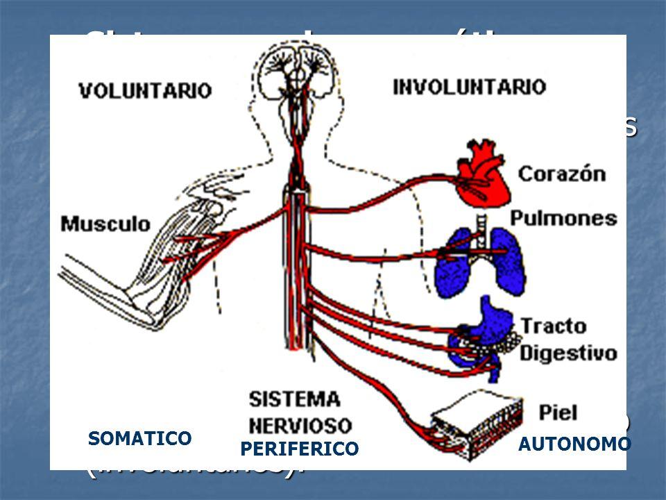 Sistema nervioso somático: neuronas sensoriales y neuronas motoras que conducen impulsos a los músculos esqueléticos (voluntarios). Sistema nervioso s