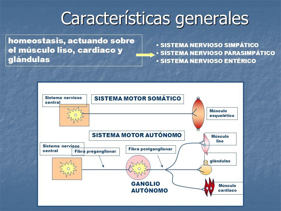 homeostasis, actuando sobre el músculo liso, cardiaco y glándulas Músculo esquelético Músculo liso glándulas Músculo cardiaco Fibra postganglionar Fib