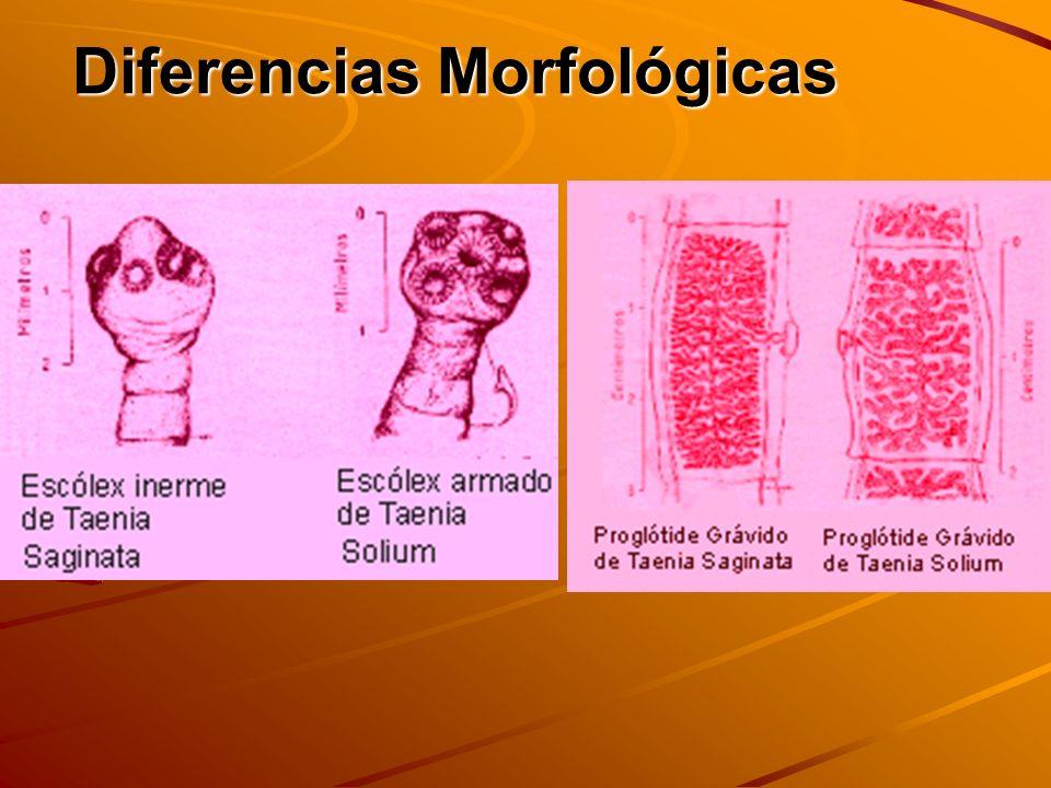 MORFOLOGIA DE ESTADO LARVARIO CISTICERCUS VESICULA ESCOLEX INVAGINADO