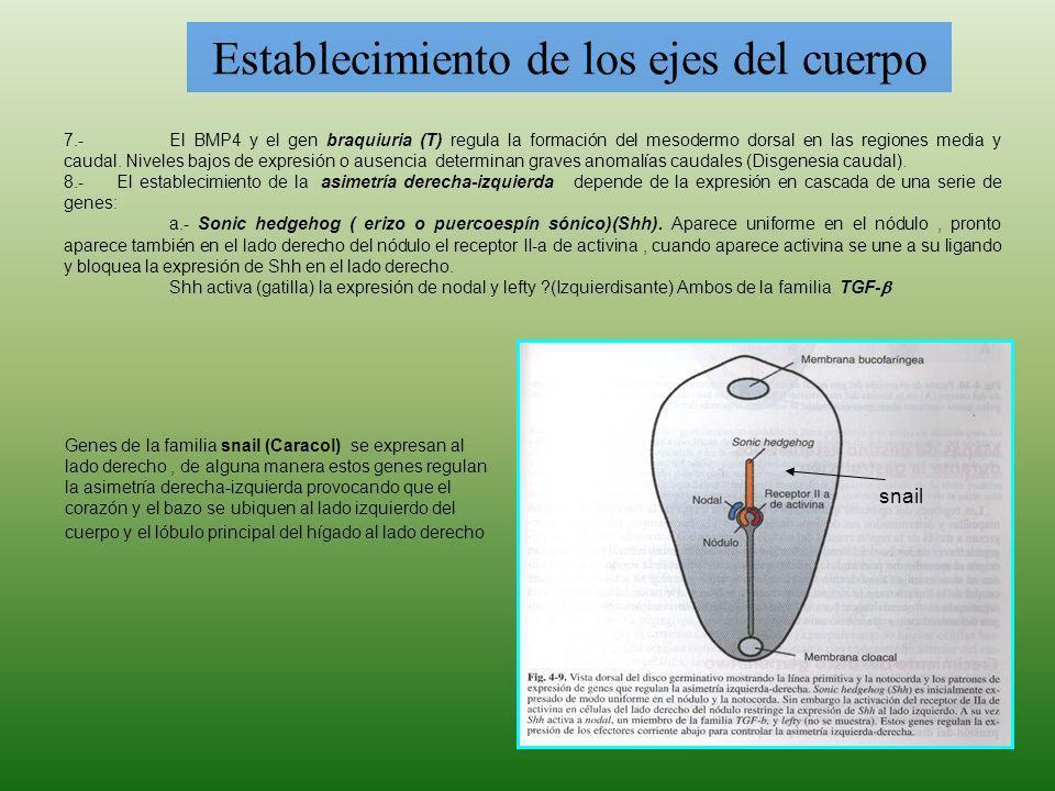 Establecimiento de los ejes del cuerpo 7.-El BMP4 y el gen braquiuria (T) regula la formación del mesodermo dorsal en las regiones media y caudal. Niv