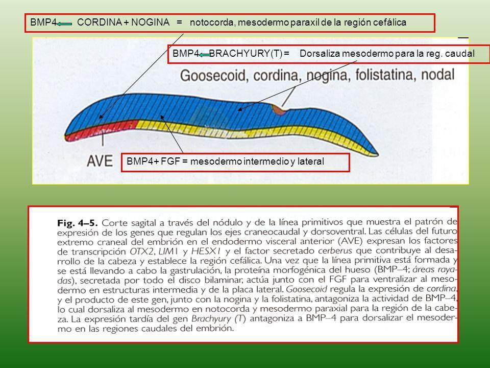 BMP4+ FGF = mesodermo intermedio y lateral BMP4 CORDINA + NOGINA = notocorda, mesodermo paraxil de la región cefálica BMP4 BRACHYURY(T) = Dorsaliza me
