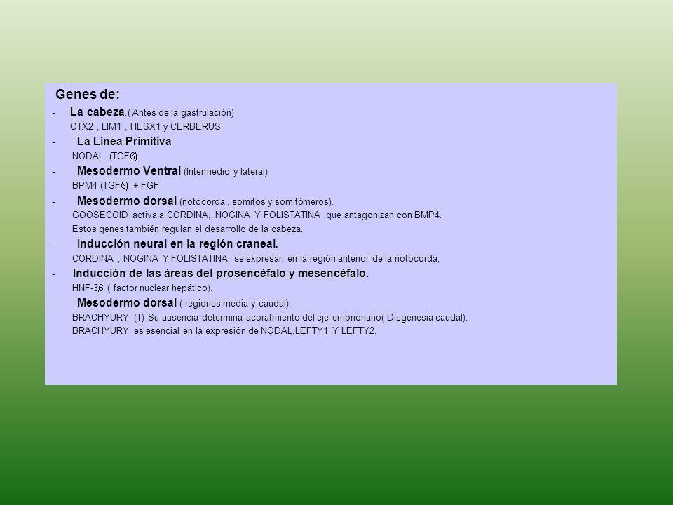 Genes de: - La cabeza.( Antes de la gastrulación) OTX2, LIM1, HESX1 y CERBERUS -La Línea Primitiva NODAL (TGF -Mesodermo Ventral (Intermedio y lateral
