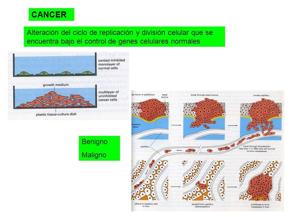 CANCER Alteración del ciclo de replicación y división celular que se encuentra bajo el control de genes celulares normales Benigno Maligno