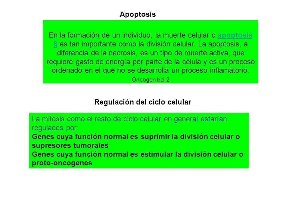 En la formación de un individuo, la muerte celular o apoptosis § es tan importante como la división celular.
