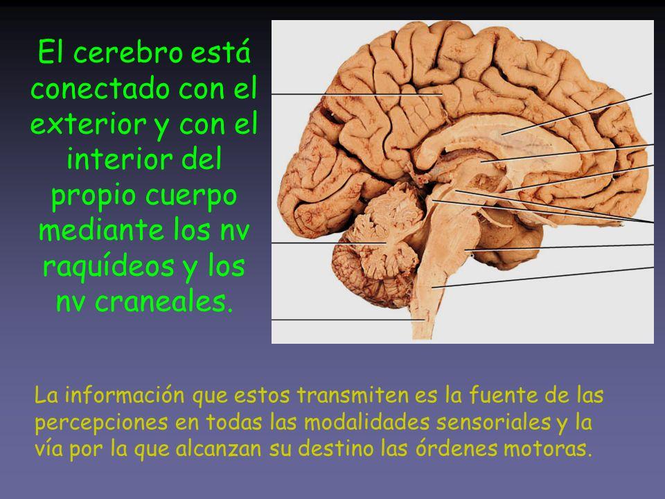 El cerebro está conectado con el exterior y con el interior del propio cuerpo mediante los nv raquídeos y los nv craneales. La información que estos t