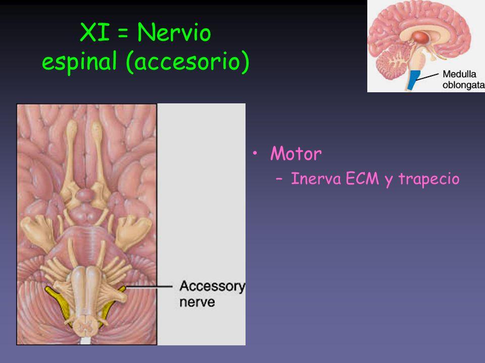 XI = Nervio espinal (accesorio) Motor –Inerva ECM y trapecio